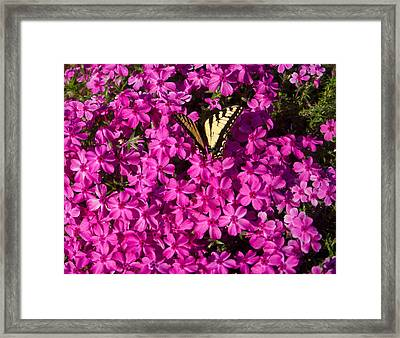 Tiger In The Phlox 5 Framed Print by Douglas Barnett