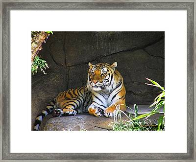 Tiger Life Framed Print