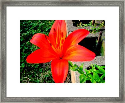 Tiger Lily Framed Print by Amy Bradley