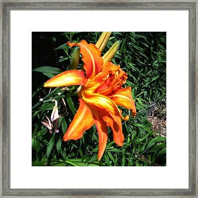 Tiger Lily #snapseed #flower #flowers Framed Print