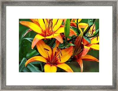 Tiger Lily Framed Print by Terri Albertson