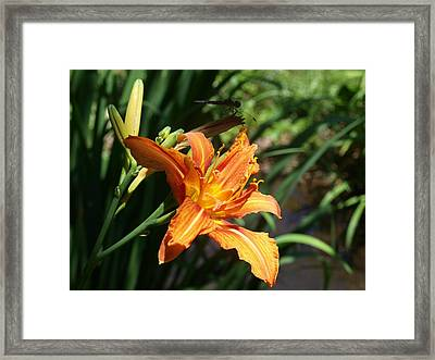Tiger Lily With Dragonfly In Background Framed Print by Frank Piercy