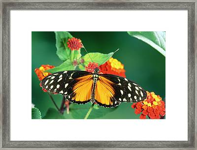 Tiger Longwing Heliconius Hecale Framed Print by Michael & Patricia Fogden