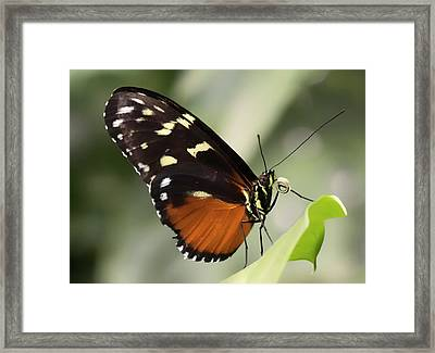 Tiger Longwing Up Close Framed Print
