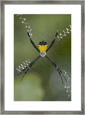 Tiger Spider Female On A Web Costa Rica Framed Print