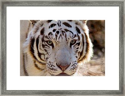 Tiger Stripes Exotic Animal Sanctuary 8 Framed Print by Dan Wells