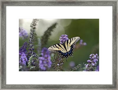 Tiger Swallowtail - D007041 Framed Print by Daniel Dempster