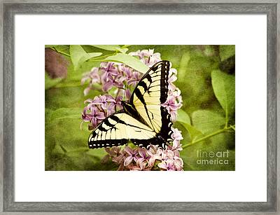 Tiger Swallowtail Butterfly Framed Print by Cheryl Davis
