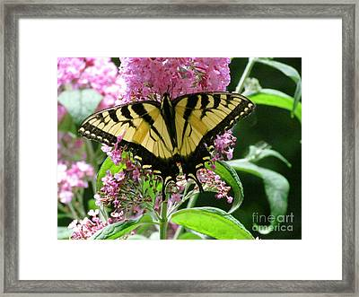 Tiger Swallowtail Butterfly Framed Print by Randi Shenkman