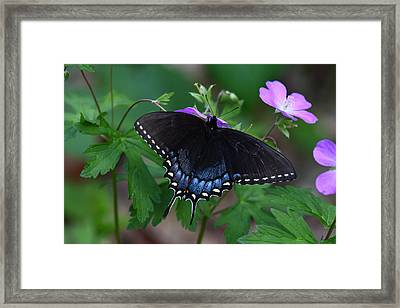Tiger Swallowtail Female Dark Form On Wild Geranium Framed Print by Daniel Reed