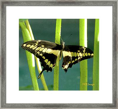 Tiger Swallowtail Framed Print by Margaret Buchanan