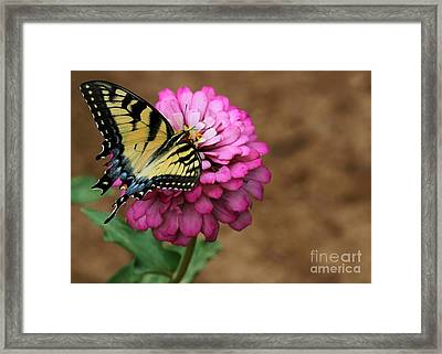 Tiger Swallowtail On A Pink Zinnia Framed Print