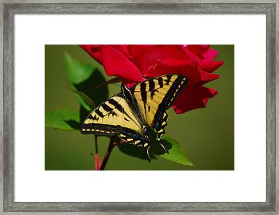 Tiger Swallowtail On A Red Rose Framed Print