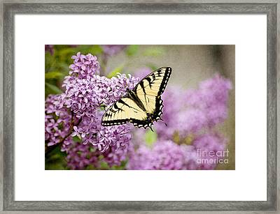 Framed Print featuring the photograph Tiger Swallowtail On Lilac Textured by Cheryl Davis