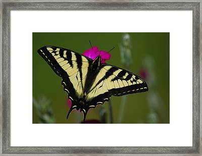 Tiger Swallowtail On Pink Framed Print