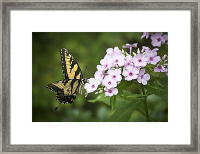 Tiger Swallowtail Framed Print by Teresa Mucha
