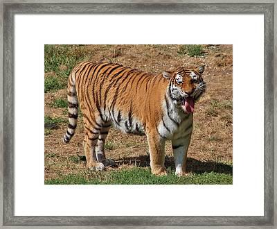 Tiger Yawn Framed Print by Alexander Spahn