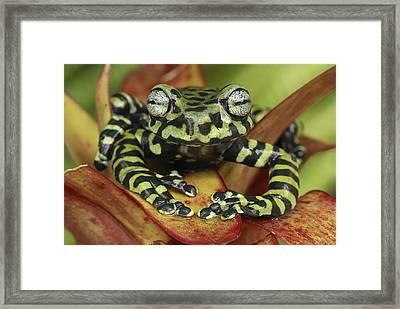 Tigers Treefrog Hyloscirtus Tigrinus Framed Print