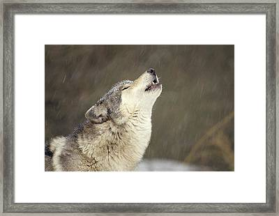 Timber Wolf Canis Lupus Howling Framed Print