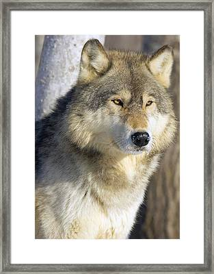 Timber Wolf Framed Print by John Pitcher