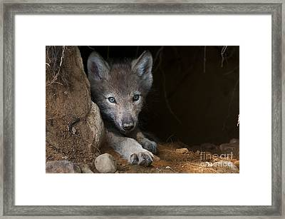 Timber Wolf Pup In Den Framed Print by Michael Cummings