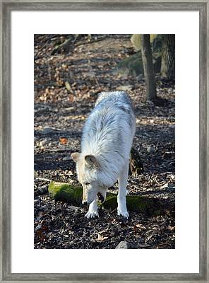 Timber Wolf Yawn Framed Print by Quin Bond