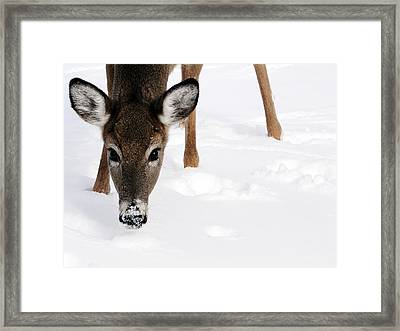 Timbit Framed Print by Bruce Ritchie
