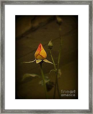 Timeless Rose Framed Print by Carol  Hynes