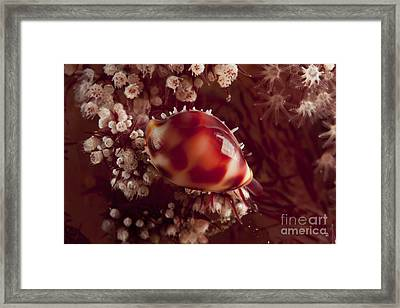 Tiny Cowrie Shell On Dendronephtya Soft Framed Print by Mathieu Meur