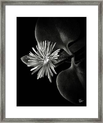 Tiny Ice Plant In Black And White Framed Print
