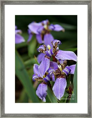Tiny Purple Iris Framed Print by Sabrina L Ryan