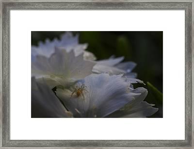 Tiny Spider On White Flower Framed Print by Scott McGuire