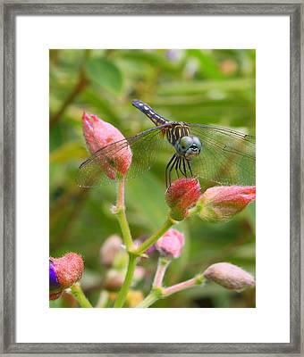 Tiny Too Framed Print by LC  Linda Scott