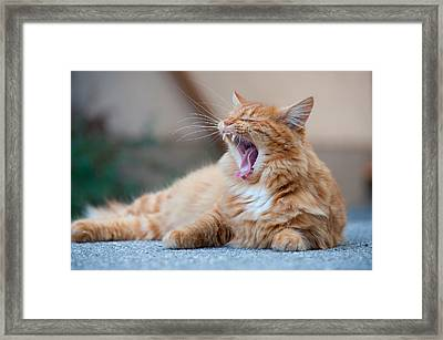 Tired Cat Yawning Framed Print by Olaf Broders