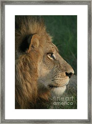 Tired Lion Framed Print by Carol Wright