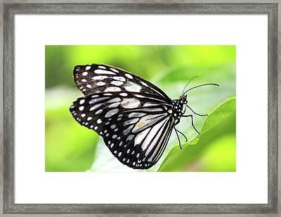 Tirumala Ishmoides Butterfly Framed Print by Lars Ruecker