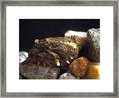 Toadfish Framed Print by Volker Steger