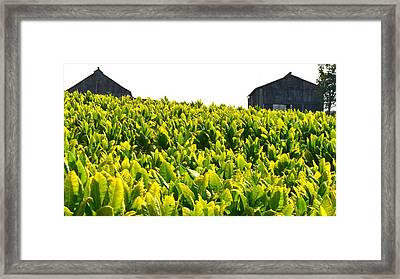 Tobacco Farm Framed Print by Mark Bowmer