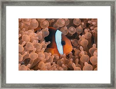 Tomato Anemonefish Framed Print