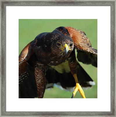 Top Raptor Framed Print by Skip Willits
