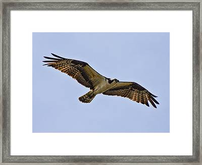 Topsail Osprey Framed Print by Betsy Knapp