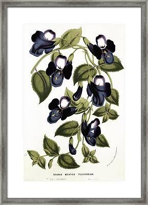 Torenia Asiatica Pulcherrima Framed Print by Louis van Houtte