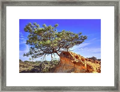 Torrey Pine Framed Print by Jeffery Reynolds