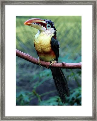 Toucan Framed Print by Paulette Thomas
