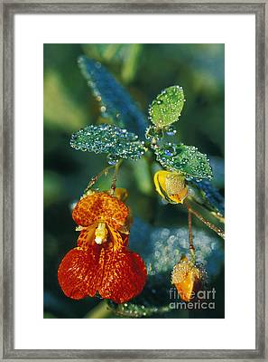 Touch-me-not And Morning Dew - Fs000358 Framed Print