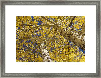 Towering Autumn Aspens With Deep Blue Sky Framed Print by James BO  Insogna
