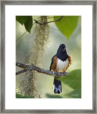 Towhee In The Trees Framed Print by Phill Doherty