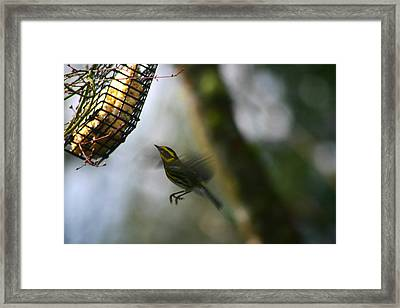 Townsend Warbler In Flight Framed Print by Kym Backland