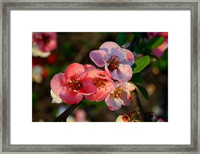 Framed Print featuring the photograph Toyo Nishiki Quince by Kathryn Meyer