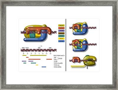 Transcription Initiation Complex, Diagram Framed Print by Art For Science